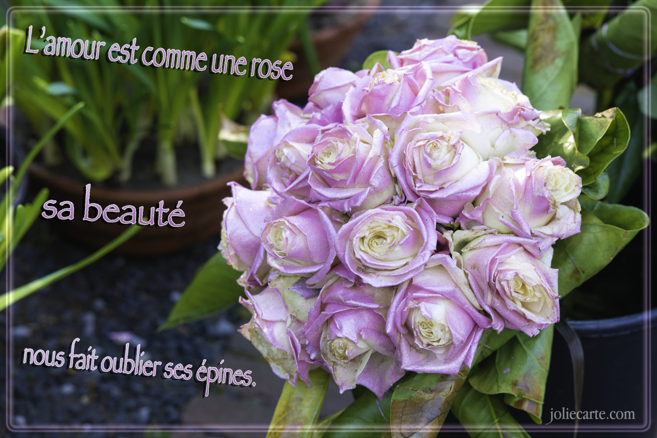 Amour comme une rose