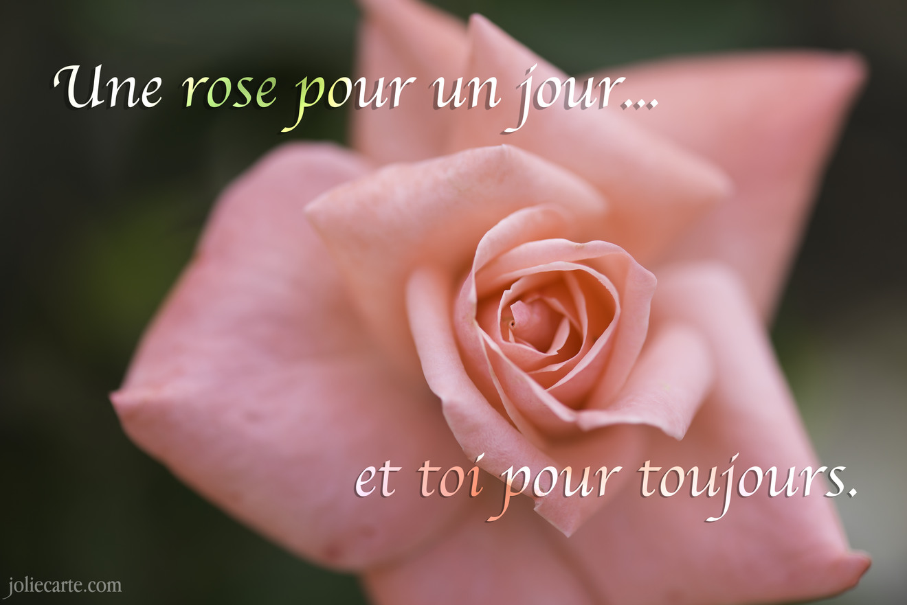 Rose toujours