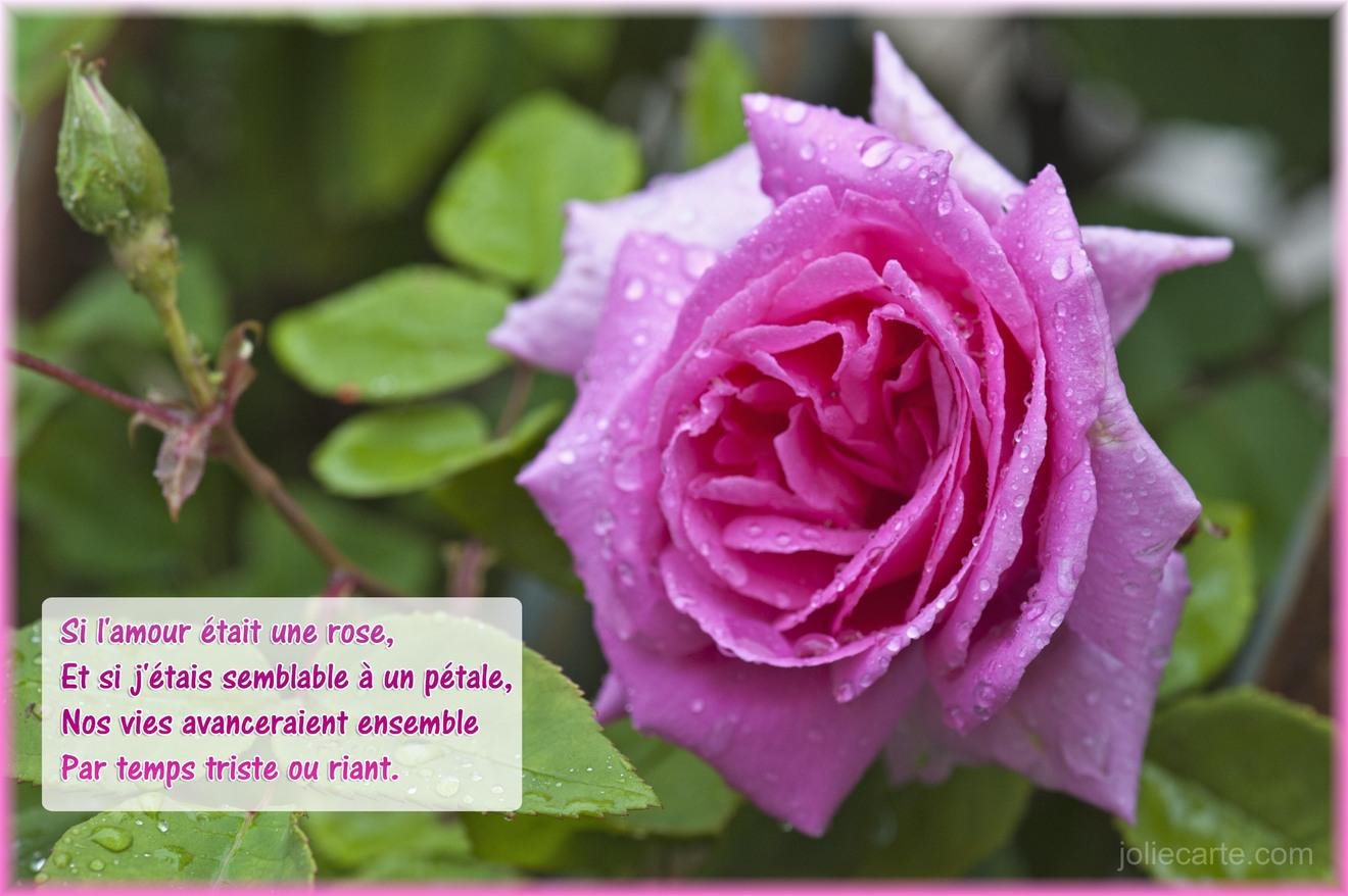 Rose pluie